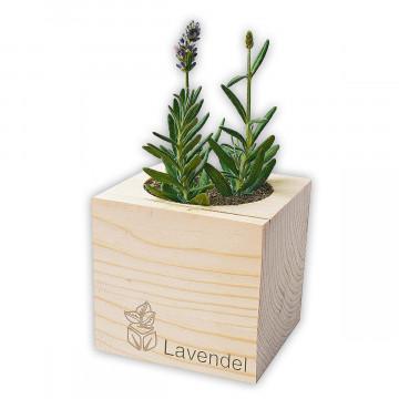 Lavendel im Pflanzwürfel